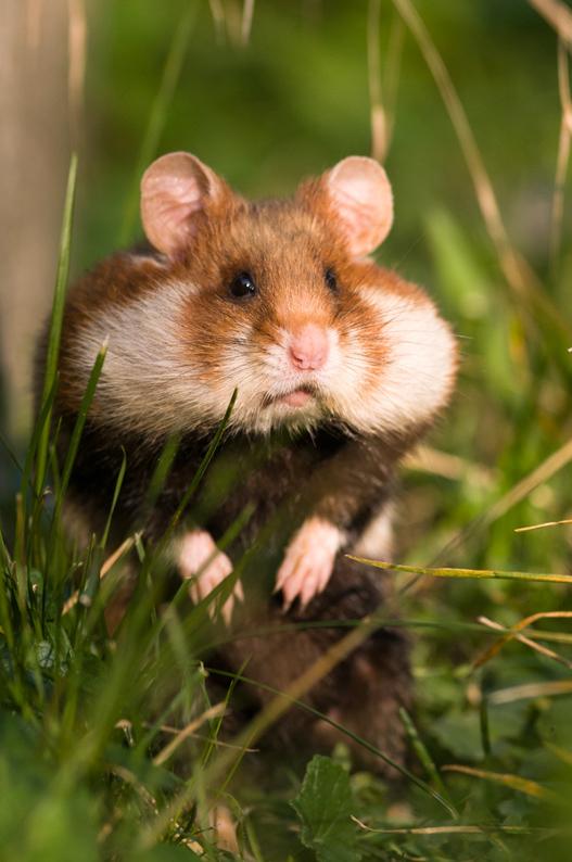 klein-Hamster3