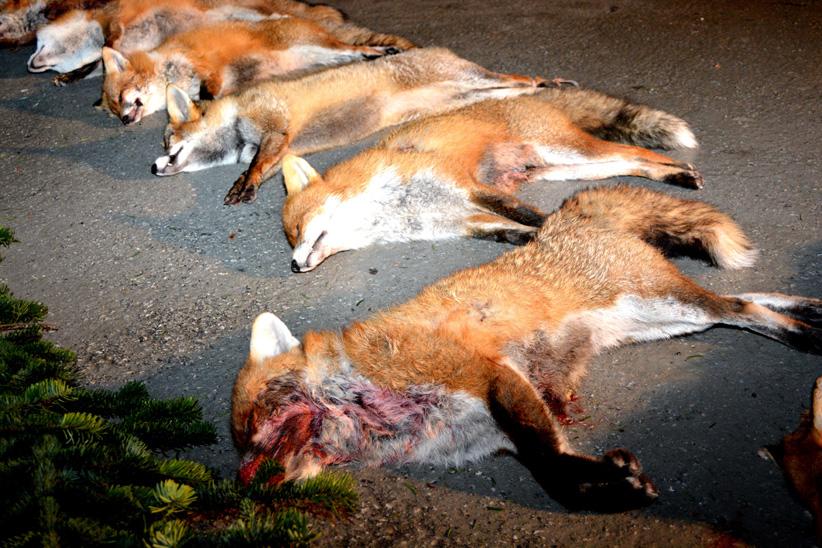 Nacht des Fuchses