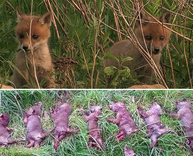Tote Fuchswelpen