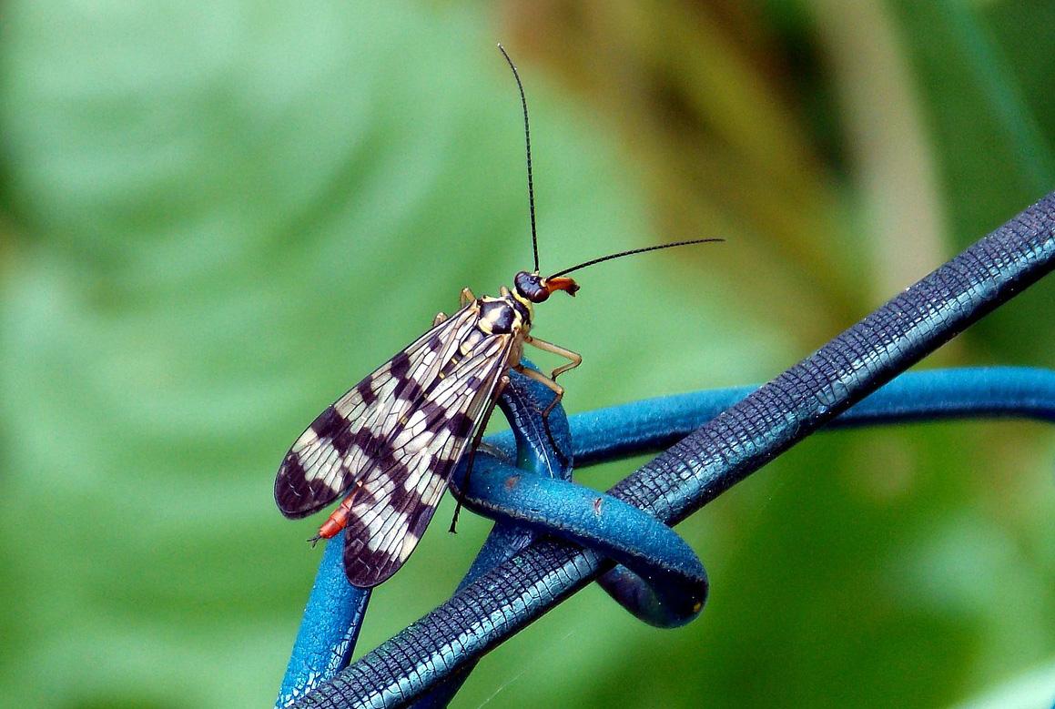 1-Skorpionsfliege