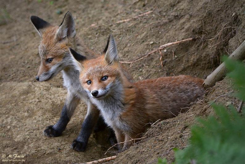 Fuchs Welpen