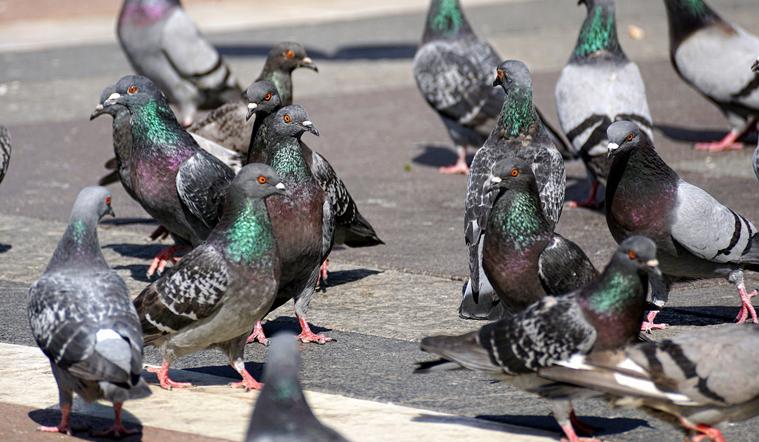 pigeons-3346417_1280