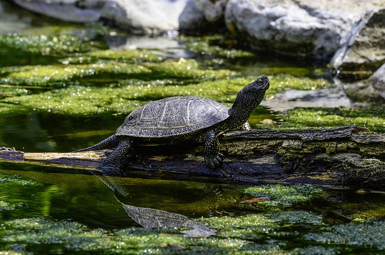 01-Sumpfschildkröte